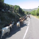 Corsican goats , encountered on Classic Bike Provence tour